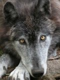 Photo de Encyclopedie-des-loups