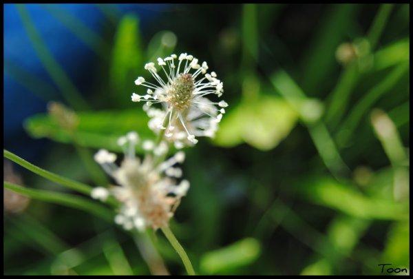 Fleur blanche .