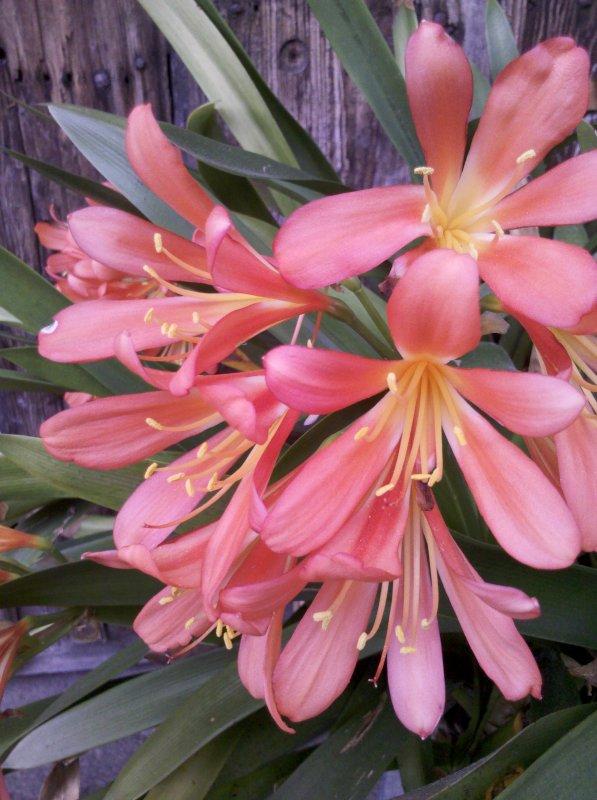 quelques fleur de mon jardin