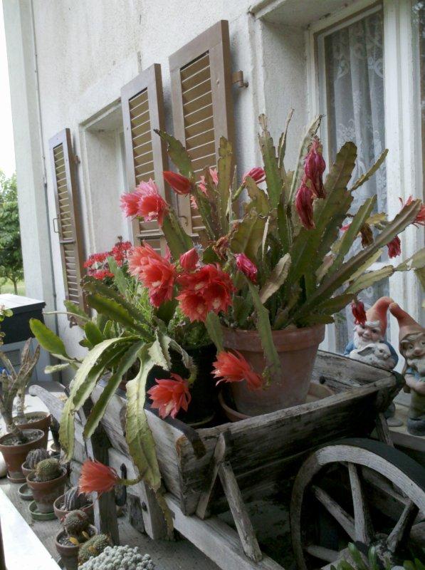 mon cactus est magnifique cette année