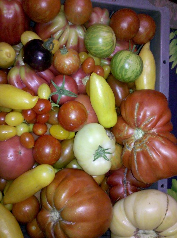 quelques tomates de mon jardin