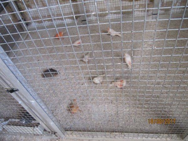Les canaris en mue