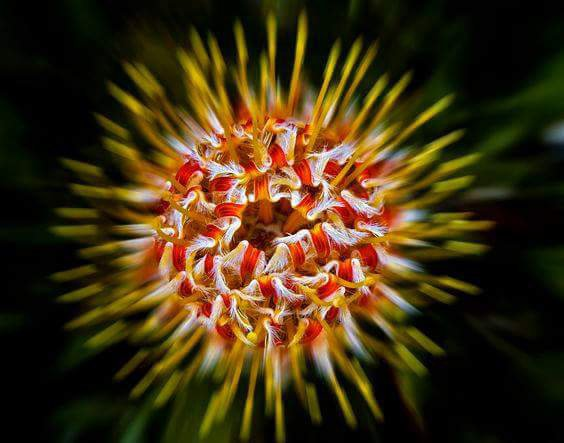 Fleur de Pincushion en ecclosion
