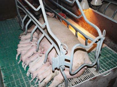 Pourquoi nourrir les poulets ou autres porcs, avec des hormones? C'est trop dangereux! Alors qu'il est si facile de gaver les humains... sans risques