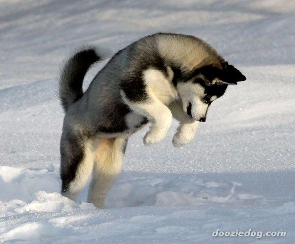 husky mon animal