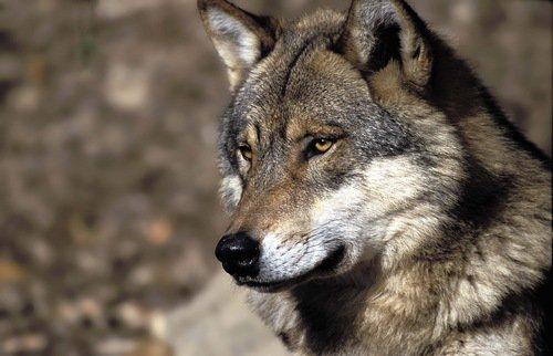 loup encore