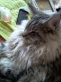 Photo de Fenzy-MainCoon-silver