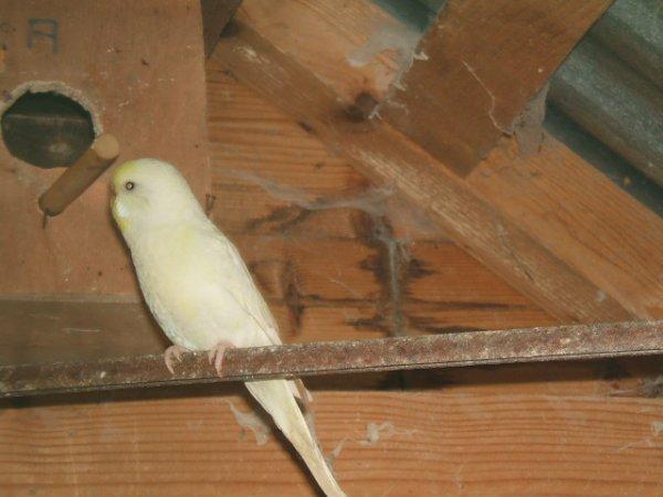 les ponte en commencé déjà 1 oeuf (male:vert et jaune)(femelle: fase jaune claire et blanc)