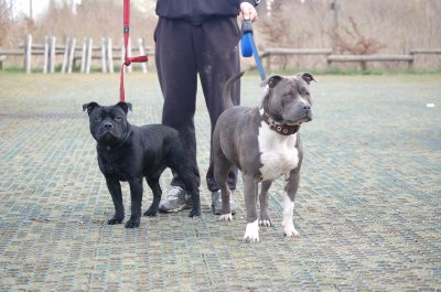 Dyron staffie et Face american Bully
