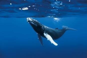 Un naufragé survit en s'accrochant toute une nuit à une baleine à bosse ...
