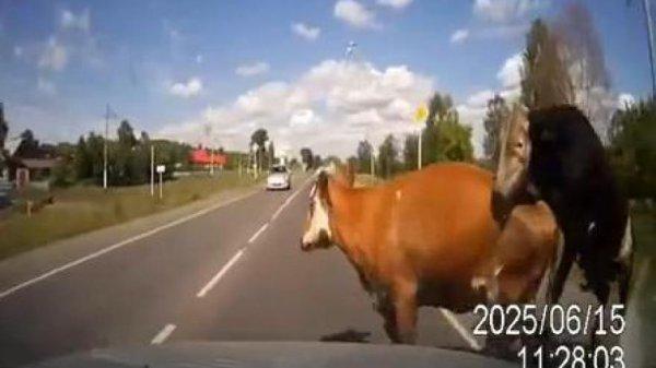 Une voiture percute une vache et un taureau en copulation !