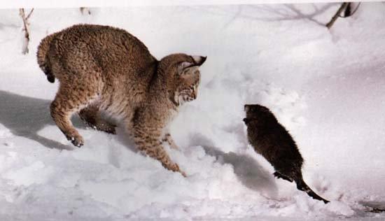Le lynx a peur de la marmotte x)