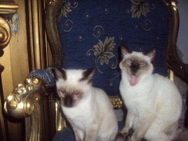 """Mes deux chats seamoi le mal """""""" C esar """""""" ( le plus petit ) la femelle """""""" Fleuvi """""""""""