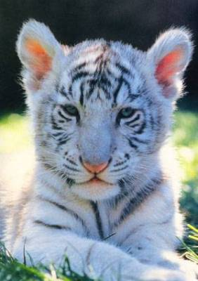 B b tigre blanc blog de miss gaaragirl miss mimicats - Bebe tigre mignon ...