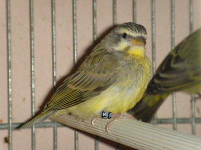 sirinus mazambicus 2011