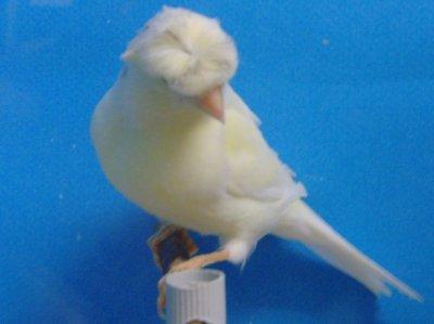 Διαγωνιζομενα πουλια.Οiseaux en compétition