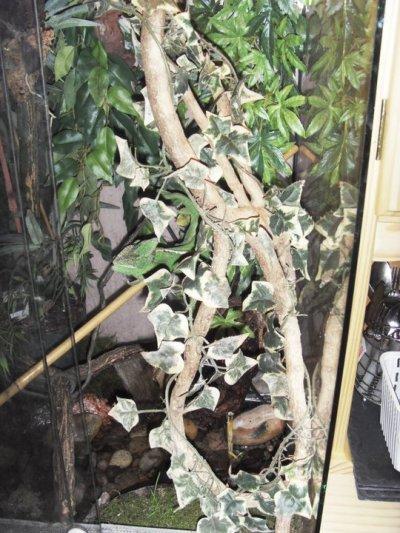 le vivarium d une calyptratus femelle d environ 20 mois