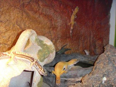 mes  geckos