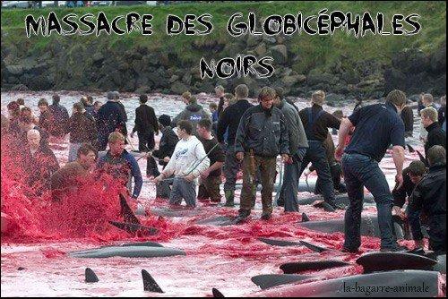 Massacre des Globicéphales noirs aux îles féroés