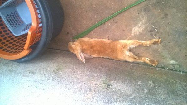 position dingue d'un lapin