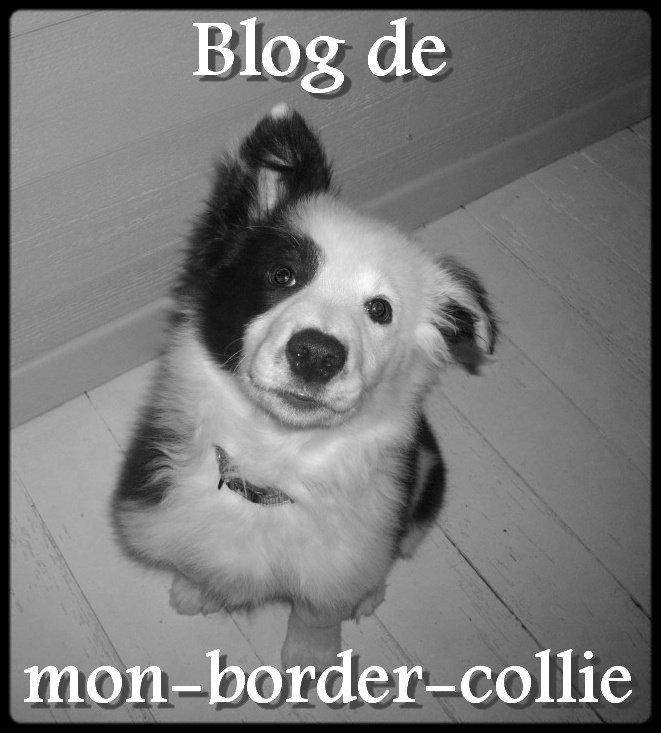 mon-border-collie