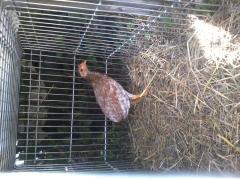 coq poule recull ceniso de ma ligne criminall