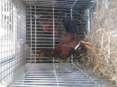 coq poule frere des reculll ligne criminall