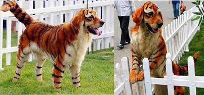 chien ou tigre ?