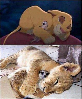 la réaliter du roi lion