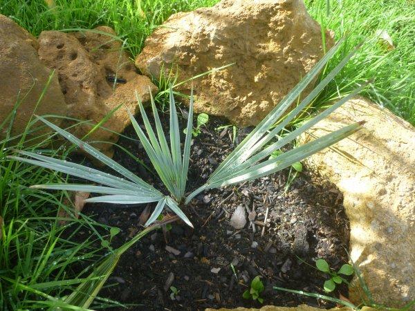 on d plante le petit palmier bleu vite au jardin. Black Bedroom Furniture Sets. Home Design Ideas