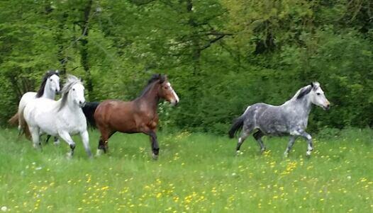 1er mai 2015 lâché des poneys