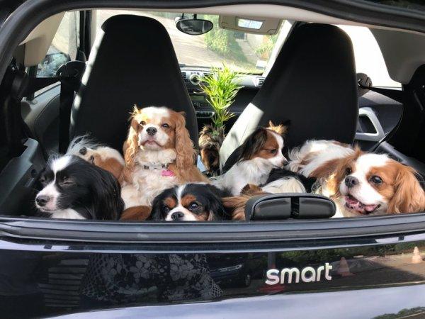 13 chiens dans la Smart  ça c'est  fait