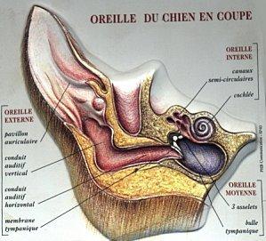 Articles de carsondesterresceltiques tagg s l 39 oreille du for Interieur oreille