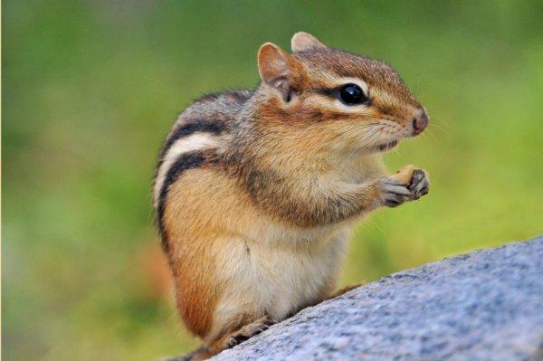 Petit chipmunk