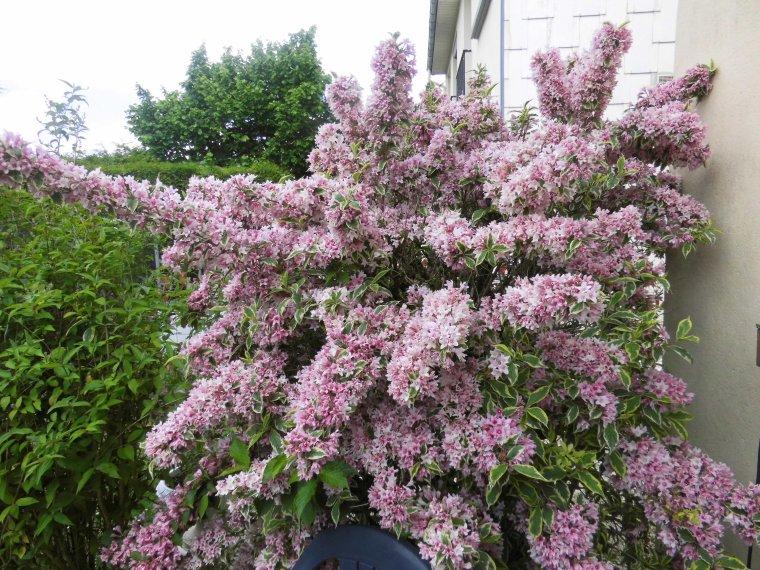 voila les rhododendrons de mon jardin