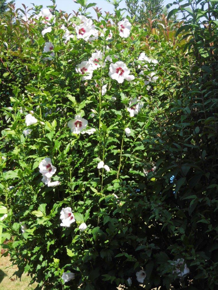 les hibiscus de notre jardin - Blog de EOLIENNE76
