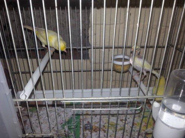 couple jaune le jeune et sortie du nid le 28-03-2014 femelle a deja repondu