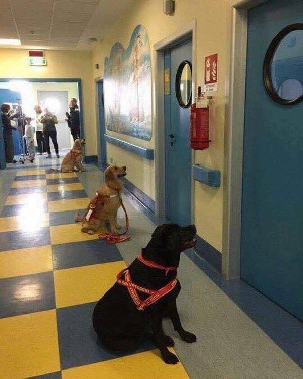 Les chiens qui attendent d'entrer dans les chambres des enfants malades pour la thérapie pet. Une image merveilleuse qui ouvre nos c½urs...