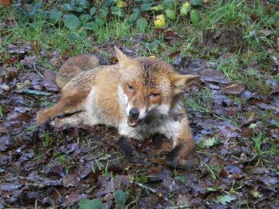 Un beau renard