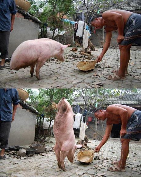 Ce cochon est né sans ses deux pattes arrières et il a appris à se déplacer avec seulement ses pattes avant. En ATR Quoi