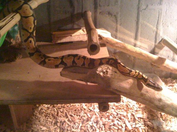 Mon nouveaux pensionnaire un python royal reguis