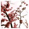 Sakura-x-Fics