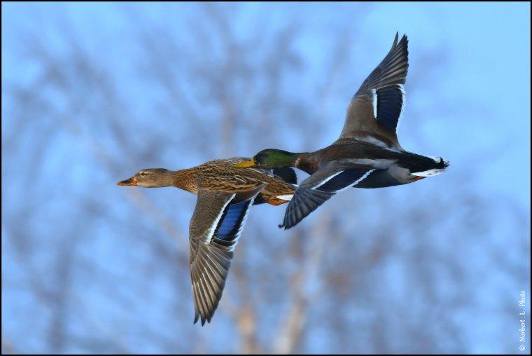 article  N° 1513   les Oiseaux ..........