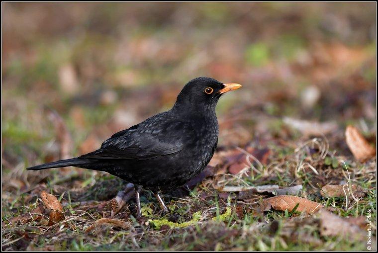 article  N° 1517  les oiseaux ................