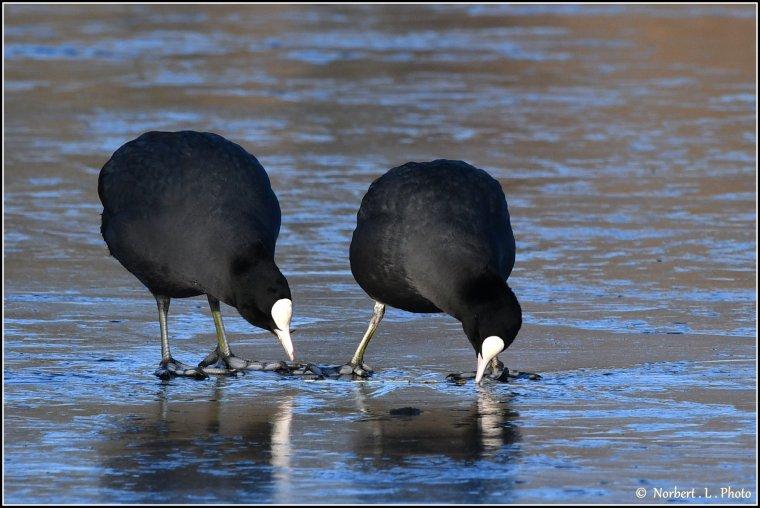 article  N° 1518  les oiseaux ..............