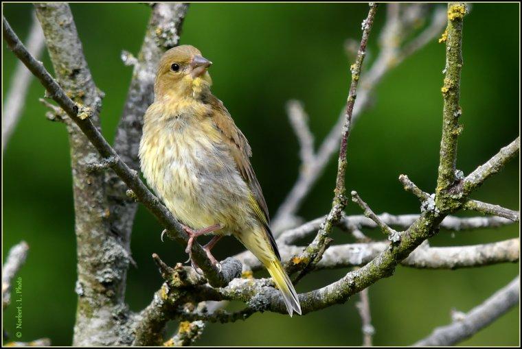 article  N° 1529  les oiseaux .......