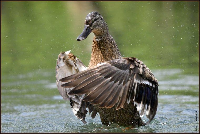 article  N° 1531  les oiseaux ......