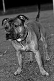 Photo de Diesel-Staffie