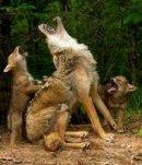 Photo de hurlement-du-loup
