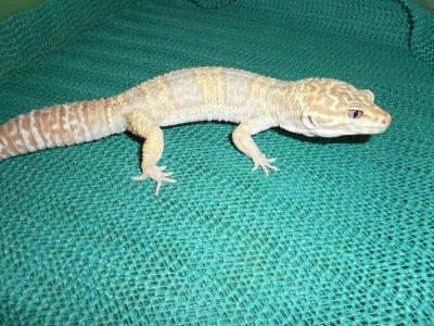 Male gecko leopard